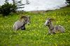 Bighorn sheep, wisdom and exuberance