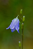Bluebell in the rain (Campanula rotundifolia), from the Bellflower Family in Glacier National Park
