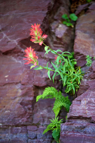 A red Alpine Paintbrushes (Castilleja rhexifolia) grow along a pink wall in Glacier National Park. Indian Paintbrush varies to every shade of pink, magenta, orange, yellow and greenish white.