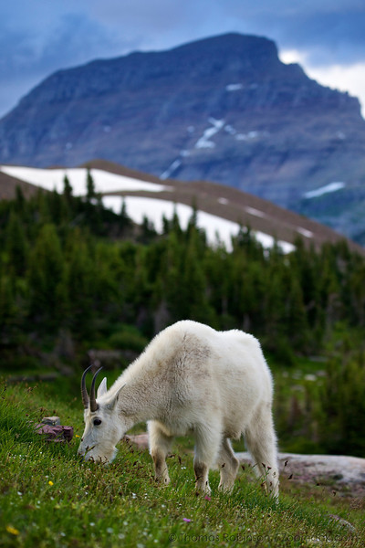 A Rocky Mountain Goat (Oreamnos americanus) grazes upon the grasses of trail to Hidden Lake near Logan's Pass in Glacier National Park.