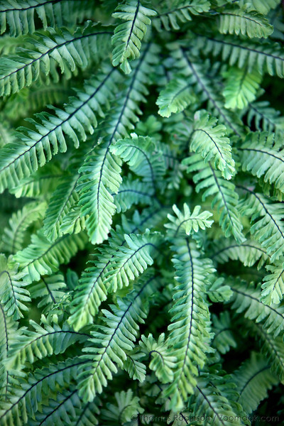 A full grouping of five-fingered fern or northern maidenhair fern (Adiantum pedatum) creates a myriad of texture and color.