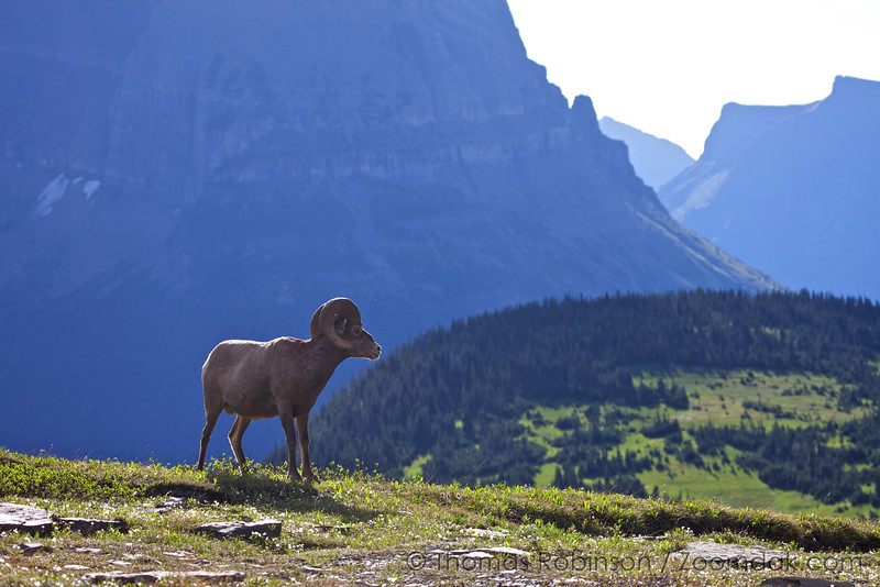 A Bighorn sheep (Ovis canadensis) looks over the Reynolds creek valley near Logan Pass in Glacier National Park, Montana.