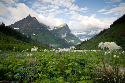 Beargrass and blue bells, Going-to-the-Sun-Road