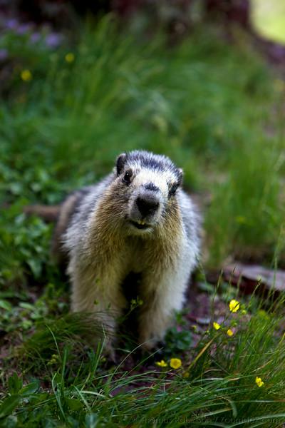 Marmot, Glacier National Park