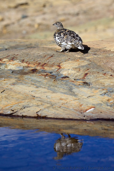 A White-tailed Ptarmigan (Lagopus leucura) reflects upon a pond near Grinnell Glacier.