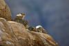 An American pika (Ochotona princeps) keeps watch over its territory.