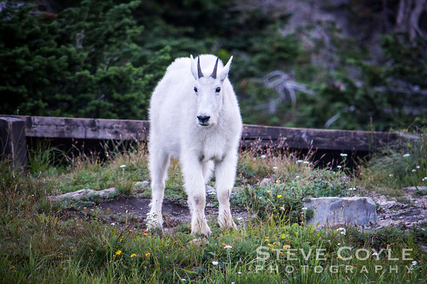 Glacier Goat