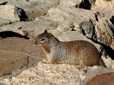 One of the creatures of the south rim is the Spotted Ground Squirrel.  You can see them around the viewing area of Bright Angel Lodge.  Look, but don't feed.  The rangers will fine you.
