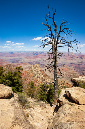 Single Lone Dead Tree at Grand Canyon National Park