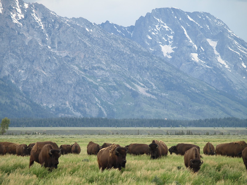 Bison in the Shodow
