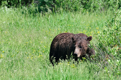 A full grown female grizzly bear just 50 feet from the road