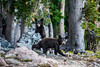 Teton Black Bear Cubs