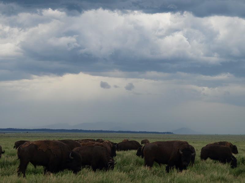 Raining Buffalo