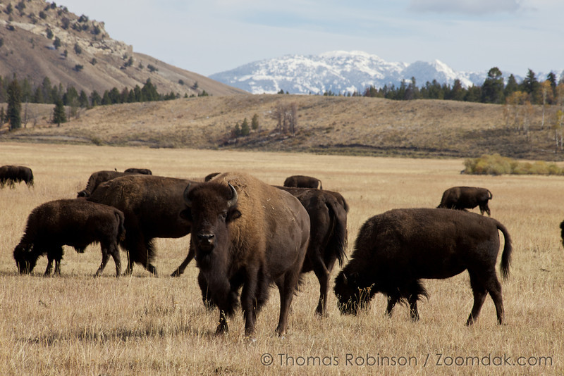 Bison (bison bison), also known as buffalo, graze in the Grand Tetons National Park.