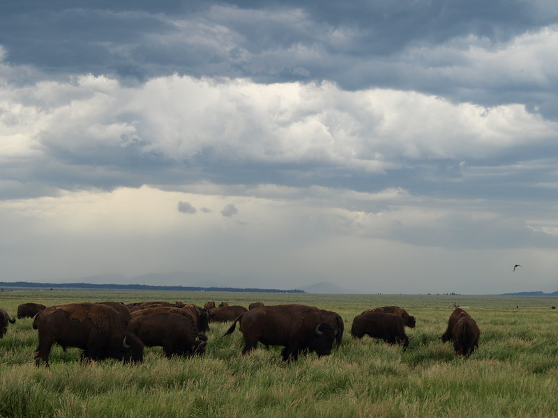 Raining Buffalo (II)