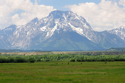 Elk in front of Mount Moran of the Teton range