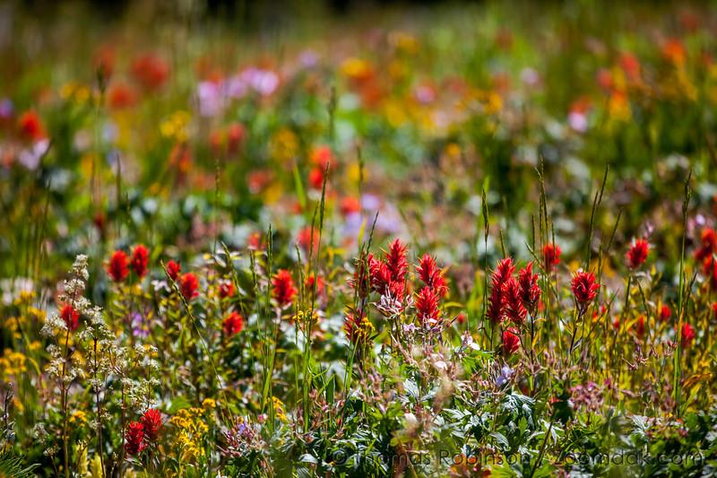 Wyoming State Flower