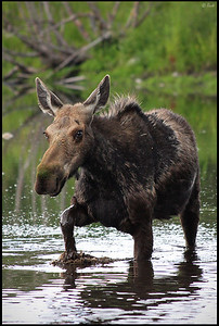 Moose crossing Snake River, Grand Teton National Park