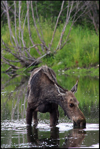 Moose drinking at Snake River, Grand Teton National Park