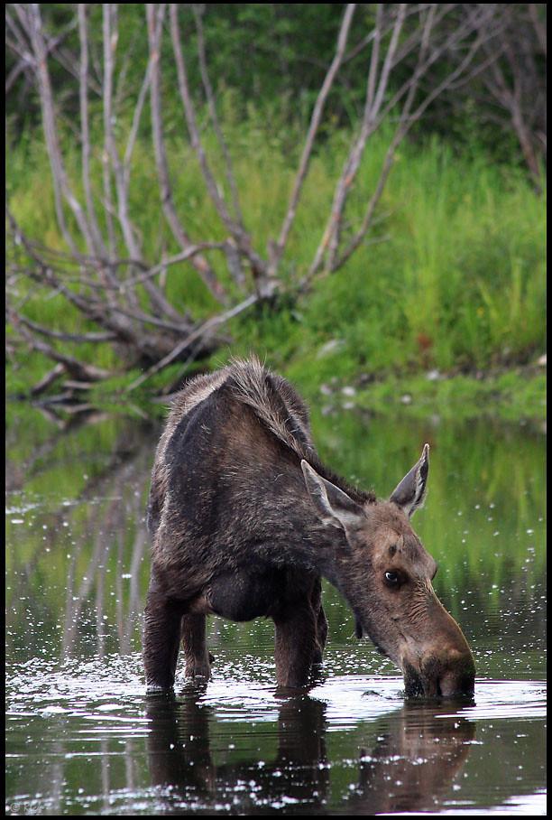 Moose drinking at Snake River, Grand Teton National Park