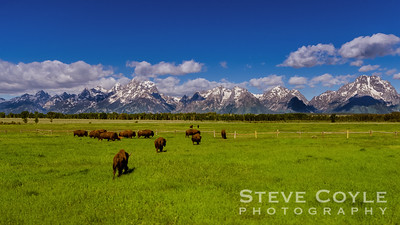 Often referred to as buffalo, these beast are actually North American bison. At one time they numbered in the millions, but today are only in the thousands. No longer endangered, there are still far fewer of them than prior to the 19th century. Their immense size is a nice contrast against the majestic backdrop of the Teton Range.