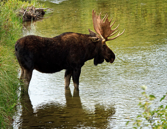 This Moose was standing in the Snake River as we crossed the bridge into Jackson Hole.  He stood there for an hour or more which allowed us to park the car and hike back to the bridge and join the hundreds of tourist on the bridge taking pictures.