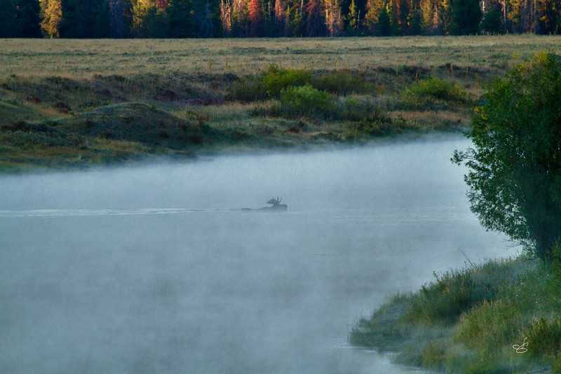 $2,000 dollar vacation, $1500 camera, Moose swimming the Snake River in a fog, PRICELESS!