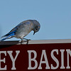 Dubois, WY, home for wintering Big Horn Sheep.  Didn't see any but the area was loaded with birds of every species.  Stopped by a lake to capture this Mountain Bluebird.
