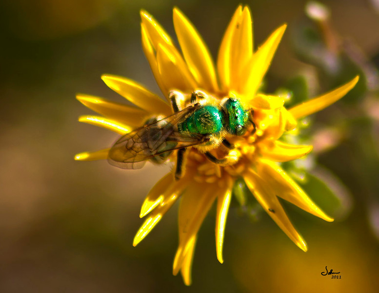 I was attempting a macro of this flower when this guy landed on it.  OK time to refocus on the bug.  This is a Green Metallic Bee.