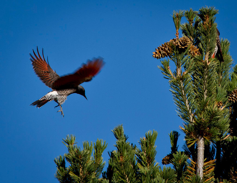 Dubois, WY, home for wintering Big Horn Sheep.  Flicker coming in for a landing.  They feed off the pine cone seeds.