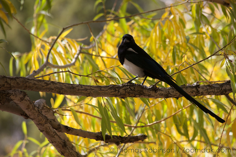 A magpie (pica pica) waits atop a tree limb in the Great Sand Dunes National Park, Colorado.