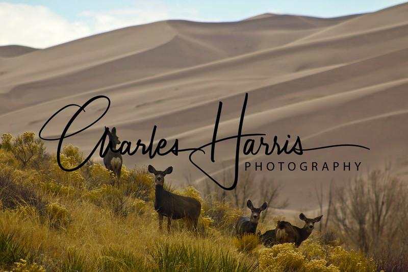 Dunes and Deer