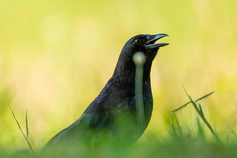 A Raven in Heat