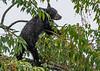 Black Bear Cub in Cherry Tree