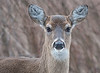 White-tailed Deer (Female)