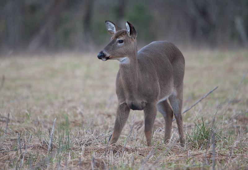 White-tailed Deer (Female)