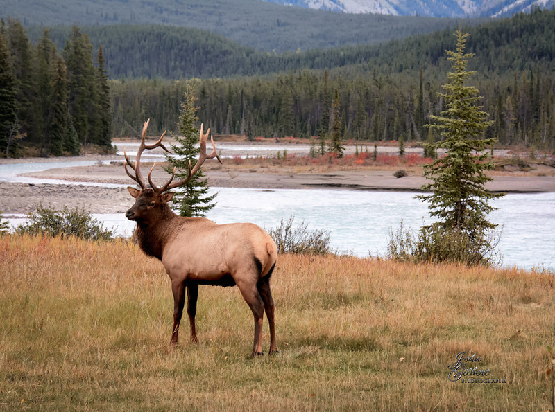 Elk Bull 10/01/2013:  He let us know he was aware of our presence but lingered long enough to capture this shot with the river in the background.<br /> <br /> Nikon D7100, 28-300mmlens @112mm. Aperture f/7.1, Shutter Speed 1/60 seconds, ISO 1600, and +0.67EV.  Single shot, hand held using vibration reduction.  Taken early in the morning on a very cloudy day.