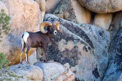 Desert Bighorn Ram...  The Rangers told us this was a rare encounter.