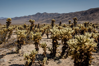 Cholla Cactus Garden in Joshua Tree National Park, April 2018.