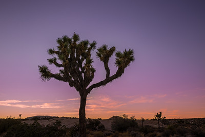 Lonely Joshua Tree