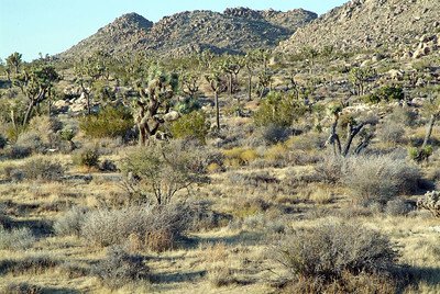 This is a view of the north end of Joshua Tree N.P.
