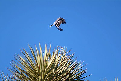 Another bird that seem to like the desert was the Loggerhead Shrike.  He found plenty to eat jumping off this yucca perch and grabbing it.