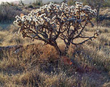 A Cholla cactus