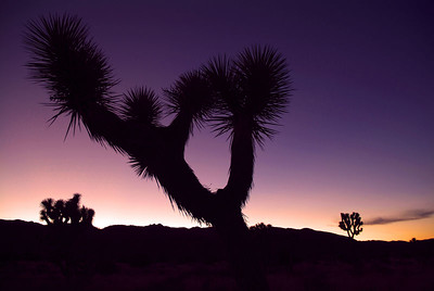 Joshua Tree at sunset.  The smog from Los Angeles adds to the color of the sky.