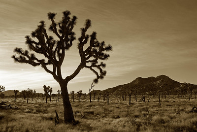 the desert landscape in Joshua Tree's sparse forest