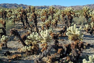 The Cholla Cactus Garden.