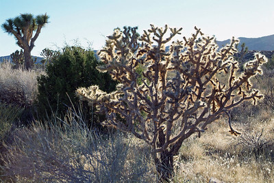 Cholla cactus in the sunlight