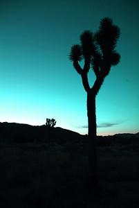 A Joshua Tree at sunset.