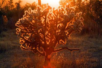 "This is the Cholla Cactus, pronounced ""choy ya"".  The thin prickly exterior is translucent and seems to glow in the sun.  You don't want to back into one of these."