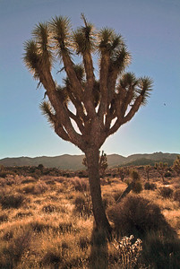 A Joshua Tree with the mountains in the background.
